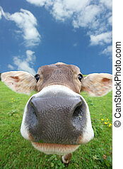 a cow - cow on meadow