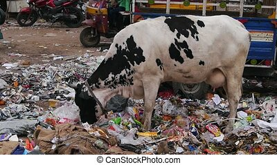 A cow eating garbage - India%u2019s waste problem and the...