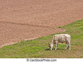 A cow eats grass in the field