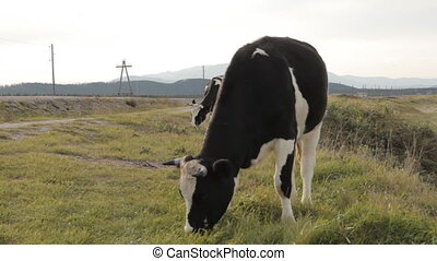 A cow enthusiastically chewing on grass in the foreground.
