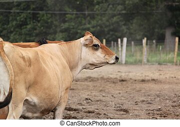 A cow looks right - A cow enters the frame from the left,...