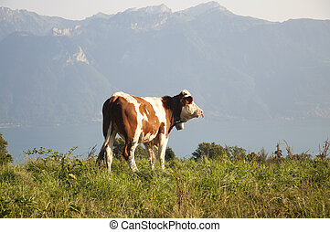 A cow on a pasture in Switzerland