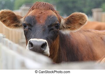A cow peeks over the fence - A cow takes a look over the...