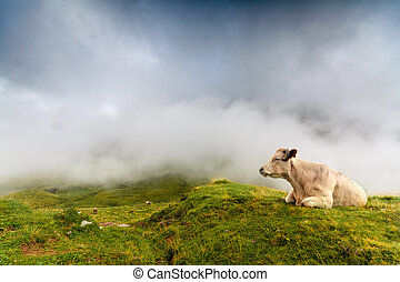 A cow resting - A cow is resting in spanish Pyrenees, with...