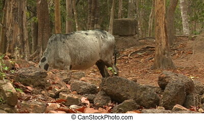 A daylight medium shot of a white cow scavenging for food and roaming outside the Khmer ruins of Sambor Prei Kuk located in the north of the city of Kampong Thom of Cambodia. .