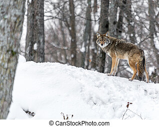 A Coyote Playing King-of-the-Hill.