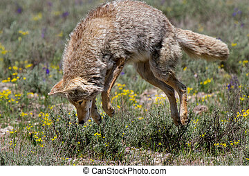 coyote pouncing