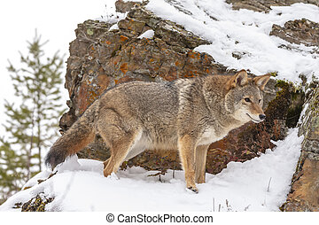 Coyote - A Coyote searches for a meal in the snowy mountains...