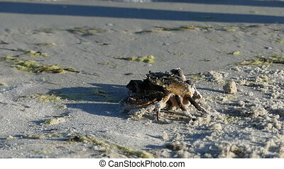 A crab disguises on the sandy Black Sea beach. It does not move