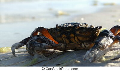 A crab sits on the sandy Black Sea beach. It does not move