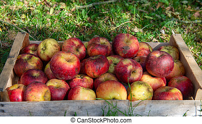 crate of fresh apples on the grass in garden