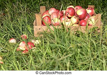 A crate with harvested apples on the grass.