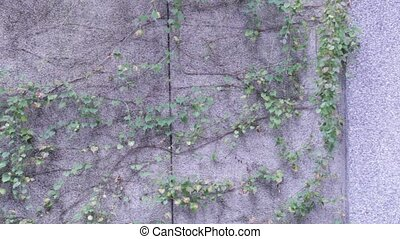 A creeper vine on a wall with some dangling vines blowing in the wind