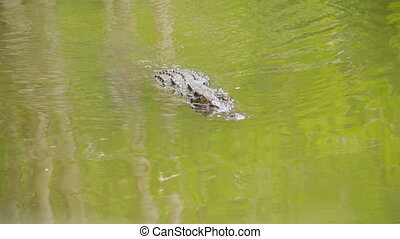 A crocodile on water
