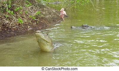 A crocodile reaching out for the bait