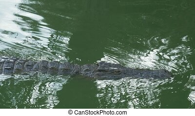 A crocodile slowly swimming in a bright green water