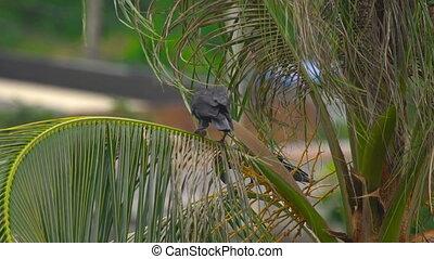 A crow on a coconut palm