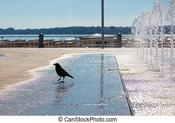 a crow quenches its thirst at a fountain