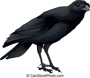 A crow - Illustration showing a black crow