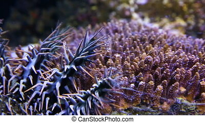 A crown of throns in an aquarium - A close up shot of a...
