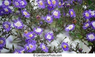 a, crysantheme, und, unter, schnee