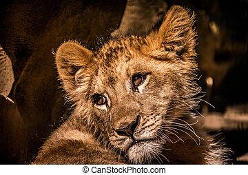 a curious baby lion cub portrait