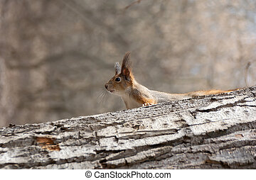 A curious squirrel looks out from behind a log