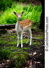 A young, fallow deer fawn (Dama dama) in its natural habitat looks curiously at the camera.