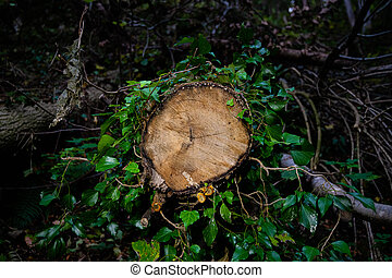 A cut tree trunk surrounded by ivy - nature takes back what human has taken from it - concept of deforestation, Lumberjack logger worker, nature and environmental protection