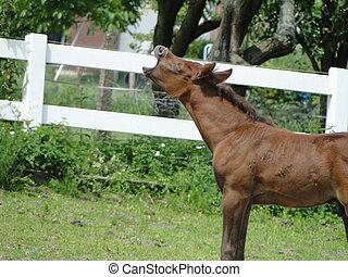Arabian foal yawning