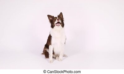 Border Collie dog sitting up on her hind legs and begging -...