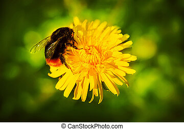 A cute bumblebee with transparent wings collects pollen from a bright yellow dandelion growing in a green meadow in the summer. Nature.