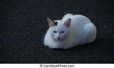 A Cute cat. - A sleepy cute cat lies down and tries to hear...