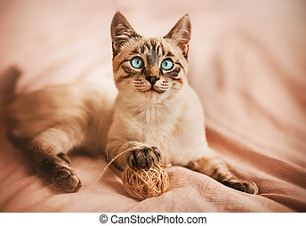 A cute cheerful tabby Thai kitten plays with a ball of wool rope on a bed with a pink blanket. A pet and household items.