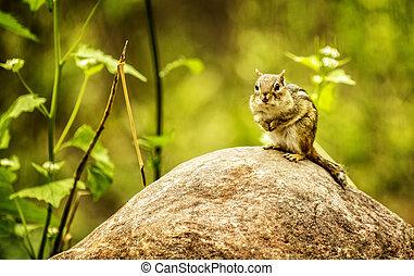Chipmunk - A cute Chipmunk sitting on a large rock.