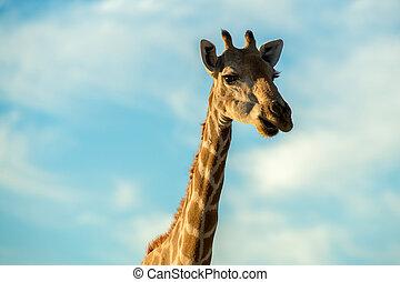 A cute close up portrait of a giraffe face, head and neck