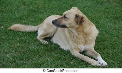 A cute dog. - A cute Dog sits on grass and looks around.