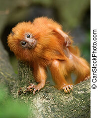 golden lion tamarin baby - A cute golden lion tamarin baby (...