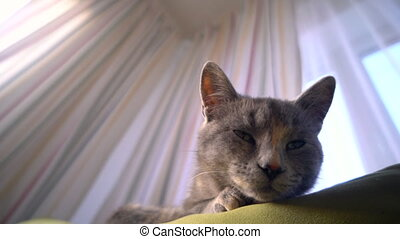 A cute grey sleepy cat with green eyes lies and rests on the sofa inside the house looks at the camera and wiggles its ears.
