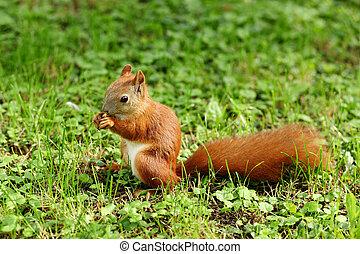 A cute Grey Squirrel (Scirius carolinensis) sitting on a log eating a nut.