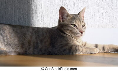 A cute grey tabby kitten lies and rests on the floor of the house in the rays of sunlight, looks at the camera, wiggles its ears and enjoys the morning sun.