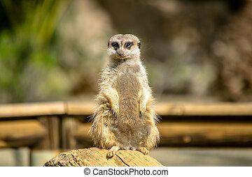 cute Meerkat on watch
