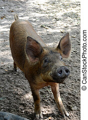 cute pig on a farm