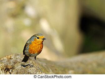 cute robin redbreast - A cute robin redbreast on a tree...