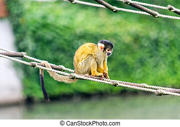 A cute, small, monkey sitting on a rope ladder