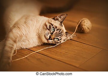 A cute tabby Thai kitten with blue eyes lies on the wooden floor of the apartment and plays with a ball of beige wool rope.