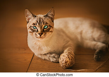 A cute Thai tabby kitten with blue eyes lies on the wooden floor and plays with a ball of hemp rope. A toy for a pet.
