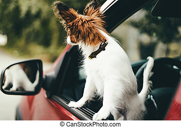 A cute white and red papillon puppy stands in the car looking out of the window, close-up.
