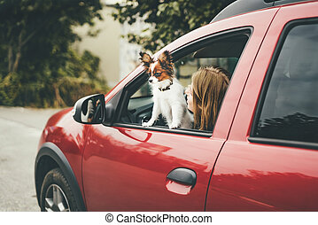 A cute white and red papillon puppy stands in the car looking out of the window.