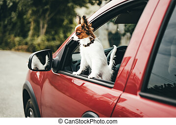 A cute white and red papillon puppy stands in the red car looking out of the window